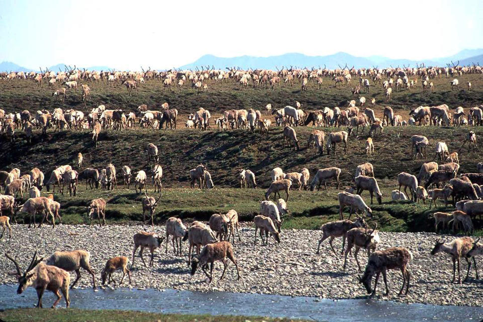 FILE - In this undated file photo provided by the U.S. Fish and Wildlife Service, caribou from the Porcupine caribou herd migrate onto the coastal plain of the Arctic National Wildlife Refuge in northeast Alaska. Conservationists will try to persuade a U.S. judge to stop the Trump administration from issuing leases to oil and gas companies in the Arctic National Wildlife Refuge. The Anchorage Daily News reported that the videoconference Monday, Jan. 4, 2021, in U.S. District Court in Anchorage is expected to determine whether the Bureau of Land Management can open bids in an online lease sale scheduled for Wednesday. The agency has offered 10-year leases on 22 tracts covering about 1,563 square miles in the coastal plain, which accounts for about 5% of the refuge's area. (U.S. Fish and Wildlife Service via AP, File)