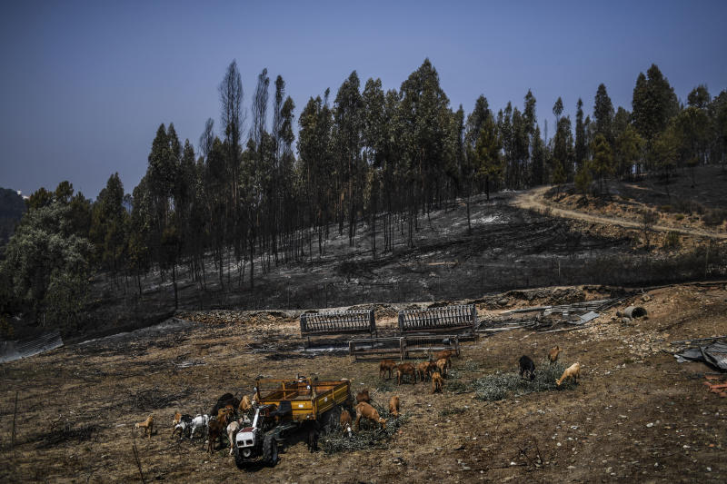 A herd of goats graze close to a burnt forest in Roda village, Macao, central Portugal on July 22, 2019. (Photo: Patricia De Melo Moreira/AFP/Getty Images)