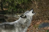 A wolf howls at a Wolf Conservation Center in South Salem, New York