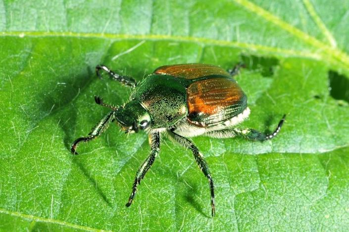 The Idaho Department of Agriculture has not detected any Japanese beetles in Boise since 2018.