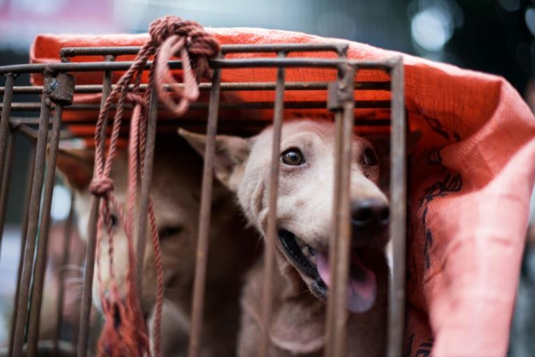 More than 10,000 canines are killed every year at China's notorious dog meat festival in Yulin