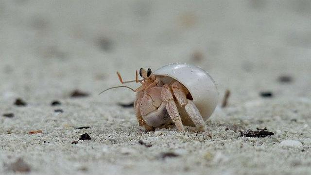 """All shells are created by soft-bodied creatures called mollusks (a group of animals that includes snails, slugs and – hold your breath – octopuses). But what do you say of shells that have legs? Look closely, these are hermit crabs. Hermit crabs are distant relatives of true crabs and their bodies are so soft that as soon as their larvae become adults, they go about hunting for abandoned mollusk shells in which they can tuck their abdomens. In due course, the crabs outgrow their protective """"clothes"""" and must look for new ones. One wildlife biologist told me how she had seen hermit crabs quarrel with each other for a shell that was a perfect fit!"""