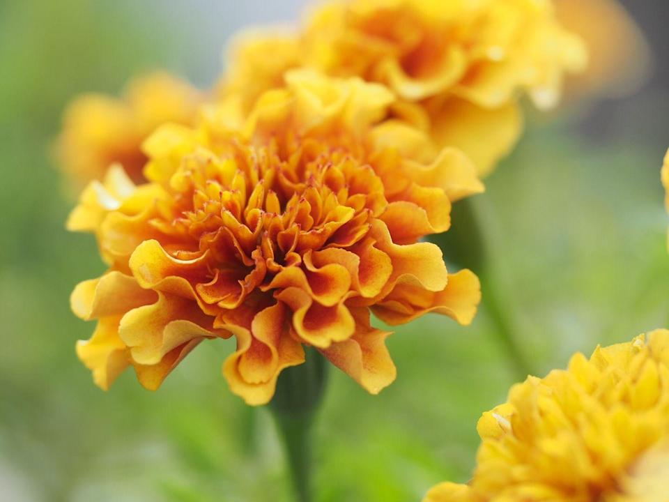 """<p>While marigolds are beneficial to plant around food-producing plants to ward off any number of pests, honey bees will flock to their bright orange, red, and yellow blooms. </p><p><a class=""""link rapid-noclick-resp"""" href=""""https://www.amazon.com/Outsidepride-Marigold-Flower-Seed-Mix/dp/B006HI4E6A/ref=sr_1_4?tag=syn-yahoo-20&ascsubtag=%5Bartid%7C10050.g.32157369%5Bsrc%7Cyahoo-us"""" rel=""""nofollow noopener"""" target=""""_blank"""" data-ylk=""""slk:SHOP NOW"""">SHOP NOW</a><br></p>"""