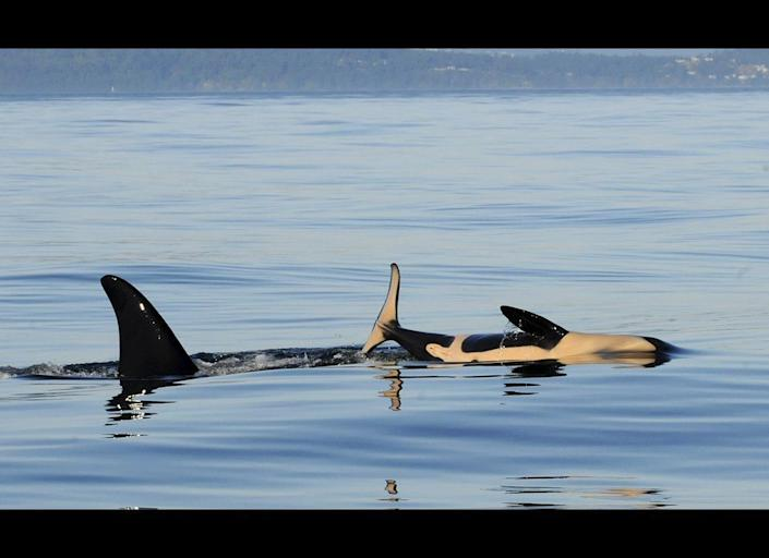 In this July 6, 2011 photo provided by the Center for Whale Research, K-44, right, a newborn male orca whale, is shown swimming with his mother, K-27, near Friday Harbor in the San Juan Islands. (AP Photo/Center for Whale Research, Astrid van Ginneken)
