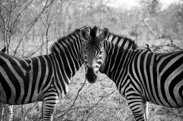 Zebras optical illusion