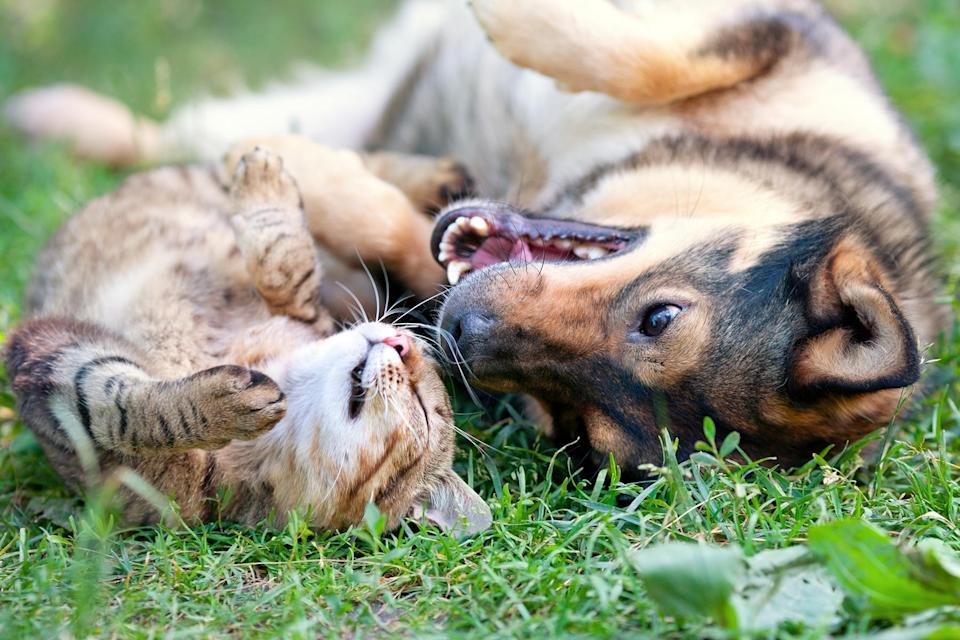 Dog and cat playing together outdoor.Lying on the back together. - Credit: vvvita/Adobe Stock