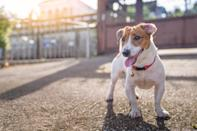"""<p>Bred to hunt foxes, voles, and small rodents in England, the <a href=""""https://www.dailypaws.com/dogs-puppies/dog-breeds/russell-terrier"""" rel=""""nofollow noopener"""" target=""""_blank"""" data-ylk=""""slk:Russell Terrier"""" class=""""link rapid-noclick-resp"""">Russell Terrier</a> makes for an excellent rodent hunter. They also make for a wonderful family dog-personality-wise, they are playful and charming although they can be headstrong and get into trouble if ignored for too long.</p>"""