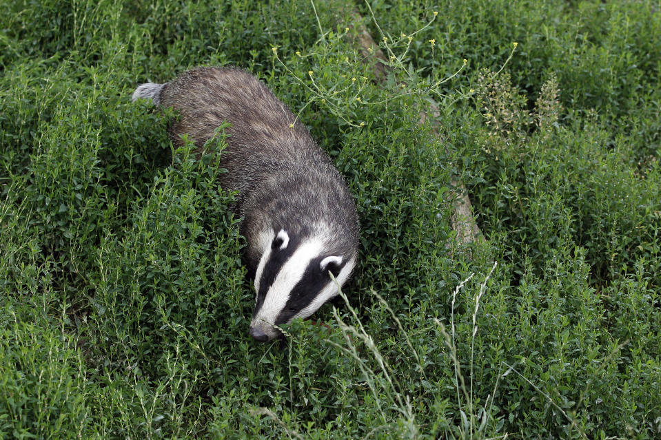 Animals such as badgers and foxes will also be covered by the new legislation (REUTERS/Stefan Wermuth)