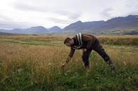 Farmer Hermann Gunnarsson pulls a sample from one of his fields as he gathers his largest harvest of barley in thirty years in Eyja Fjord, northern Iceland Saturday, Sept. 18, 2021. (AP Photo/Egill Bjarnason)