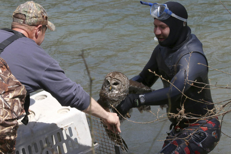 In this April 6, 2019 photo provided by Bill Hulsebus, a snorkeler, Jonathan Knapp hands over a barred owl that was caught in fishing line in a tree at the Springfield Conservation Nature Center in Springfield, Mo. The owl caught a lucky break when a Knapp banded with wildlife officials to rescue the bird from the fishing line tangled in trees above the James River. (Bill Hulsebus via AP)