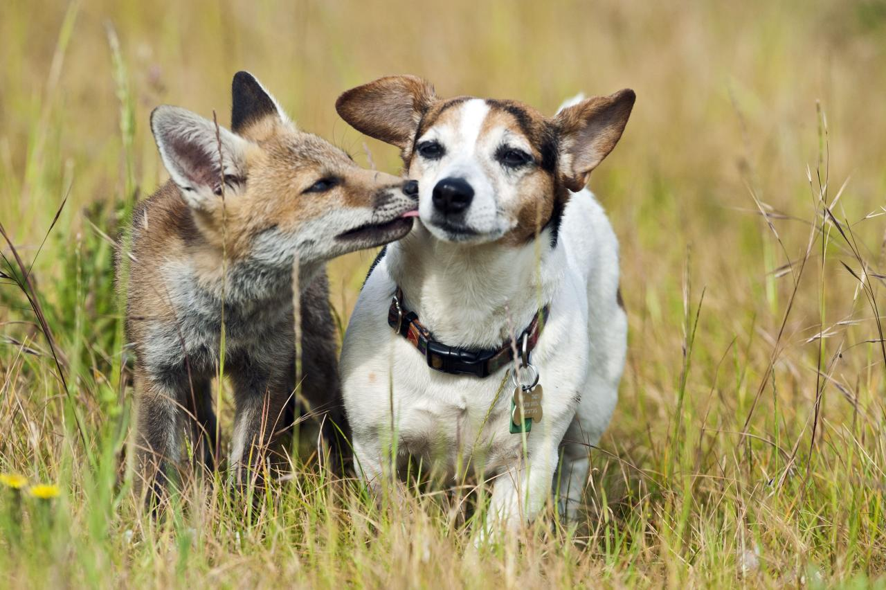 ** MANDATORY BYLINE ** PIC BY BRIAN BEVAN / ARDEA / CATERS NEWS - (Pictured a fox and jack russell together) - From a loving look to an affectionate nuzzle, these are the charming images of cute creatures cosying up for Valentines Day. And as the heart-warming pictures show the animal kingdom can be just as romantic as us humans when it comes to celebrating the big day. SEE CATERS COPY.