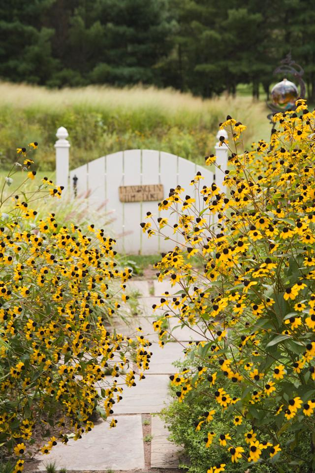 "<p class=""normal"">Towering upright stems form a sea of wildflowers, in sharp contrast to this plant's traditional, tame cousin the <a href=""http://www.sunset.com/garden/flowers-plants/black-eyed-susan-rudbeckia-fulgida"" target=""_blank"">Black-Eyed Susan</a>. Planted in full sun along a border, it will self-support and grow up to 3' tall. If planted in shade, support netting may be necessary as stems will elongate and weaken.</p>"