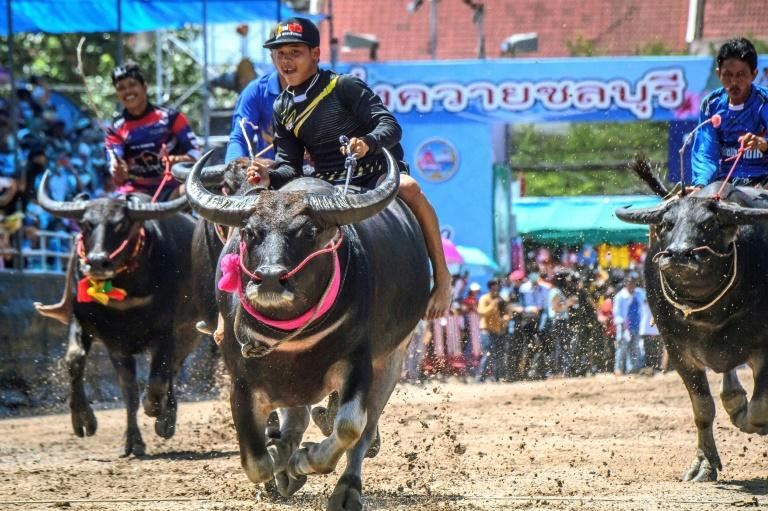 Thailand's annual buffalo festival races on despite travel ban