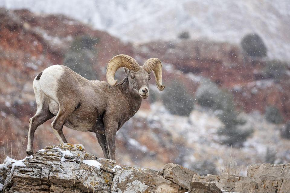 <p><strong>State Animal: Desert Bighorn Sheep </strong></p><p>These horned creatures became the official animal of Nevada in 1973. </p>