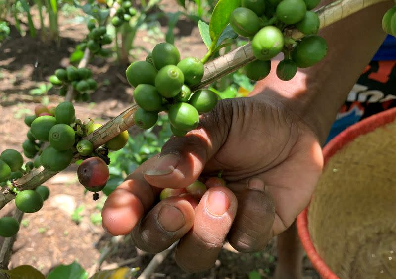 Randriamampionina, farmer and coffee grower picks coffee berries during his harvest in Amparaky village in Ampefy town of Itasy region