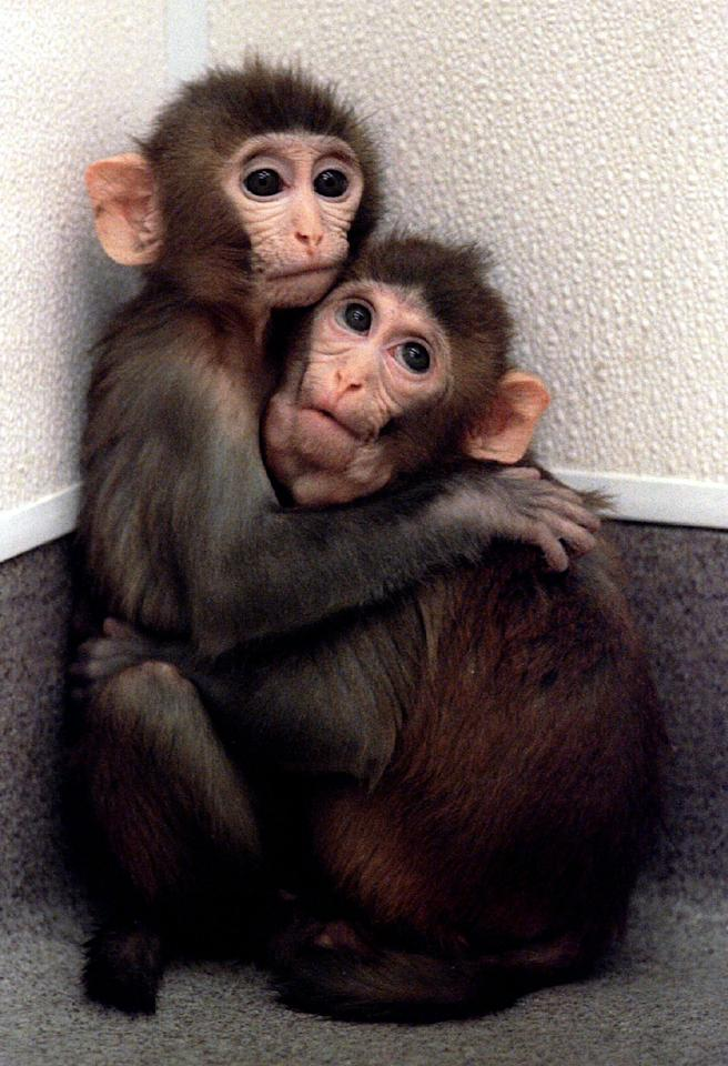 Twin baby monkeys born from cloned embryos clutch each other at the Oregon Regional Primate Research Center in Beaverton, Oregon March 4. The procedure used to produce the monkeys last year, nuclear embryo transfer, confirms that genetically identical twin monkeys can be reproduced.