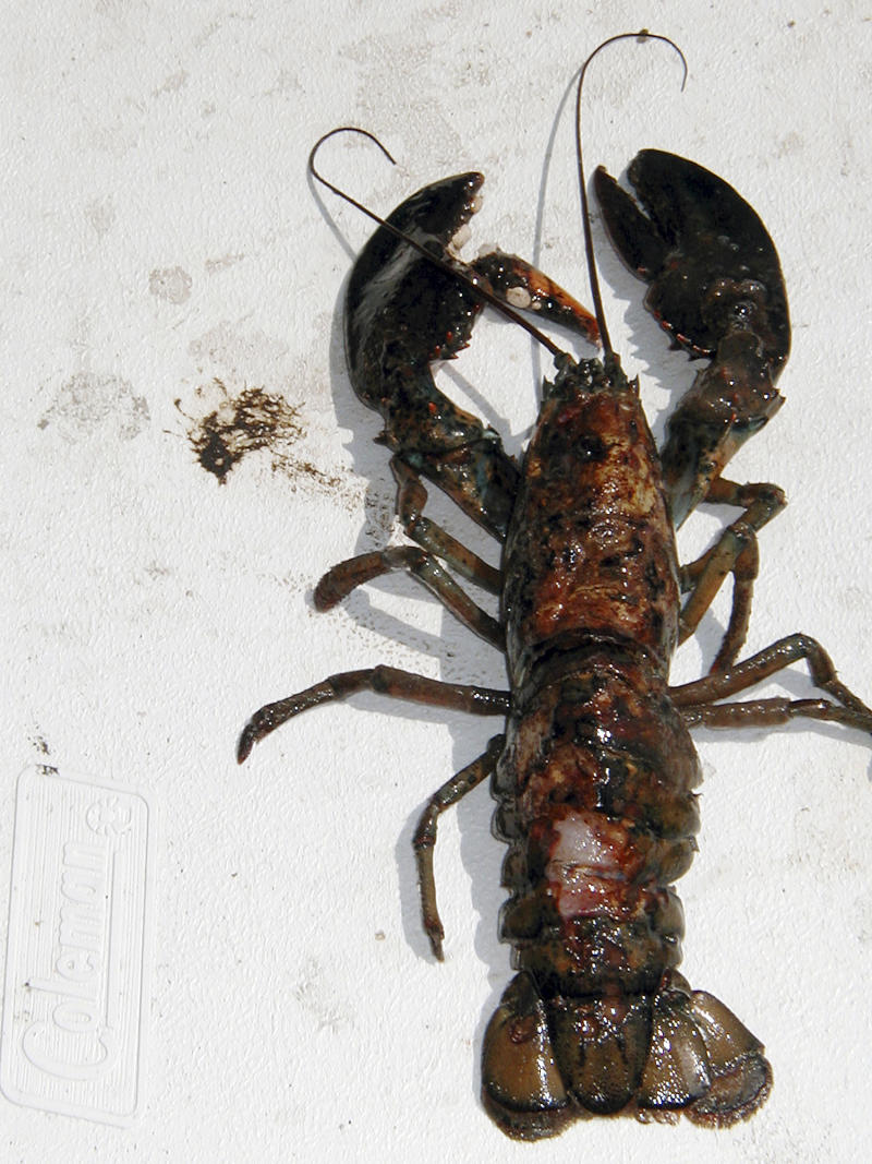 Lobster shell disease creeping northward to Maine