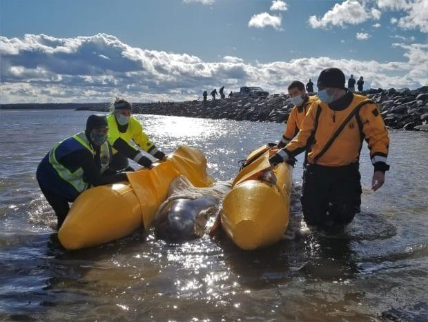 Rescuers floated the whale on a pontoon to take it back out to sea.
