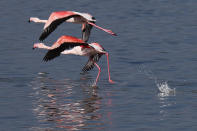 Flamingos prepare to fly on a salt lake in the southern coastal city of Larnaca, in the eastern Mediterranean island of Cyprus, Sunday, Jan. 31, 2021. Conservationists in Cyprus are urging authorities to expand a hunting ban throughout a coastal salt lake network amid concerns that migrating flamingos could potentially swallow lethal quantities of lead shotgun pellets. (AP Photo/Petros Karadjias)