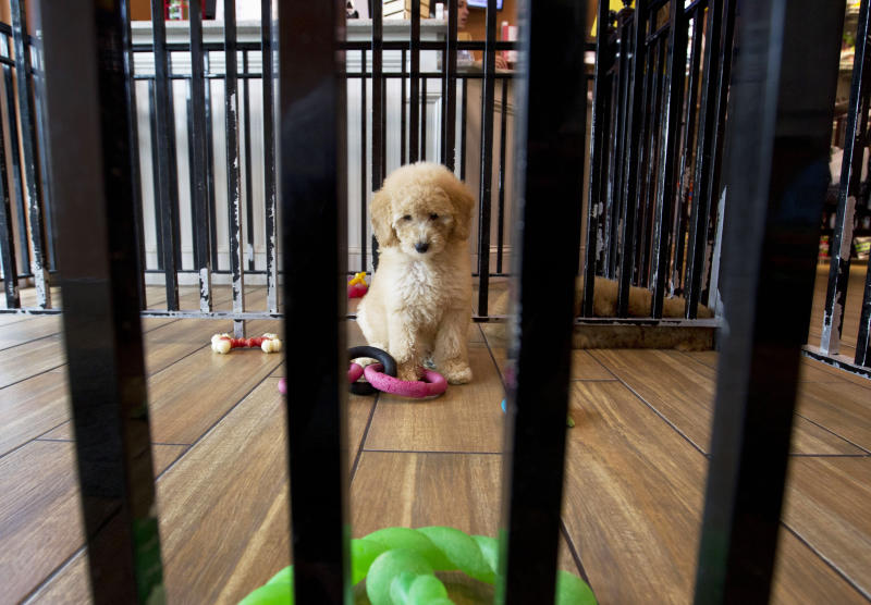 "A puppy plays with toys at a pet store in Columbia, Md., Monday, Aug. 26, 2019. Pet stores are suing to block a Maryland law that will bar them from selling commercially bred dogs and cats, a measure billed as a check against unlicensed and substandard ""puppy mills."" (AP Photo/Jose Luis Magana)"