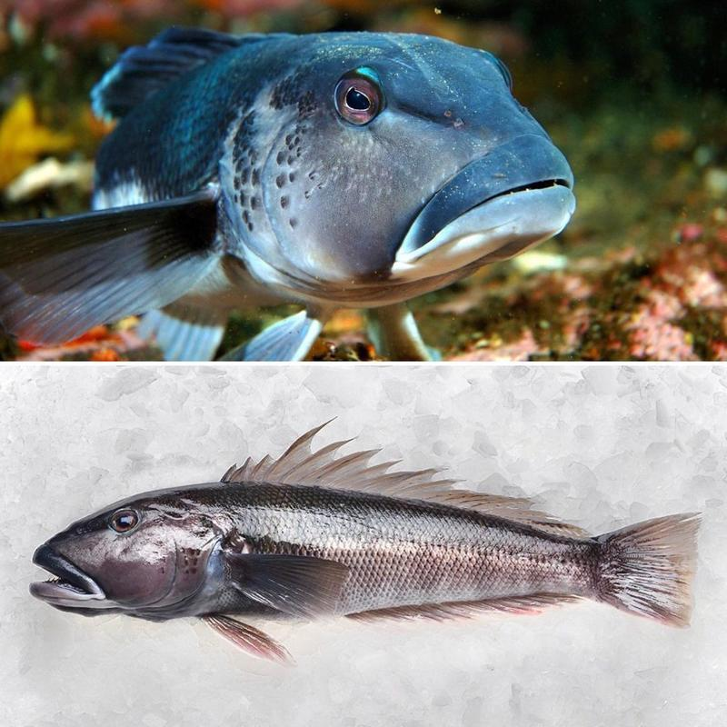 Collage of New Zealand Blue Cod from Qing Feng Yuan