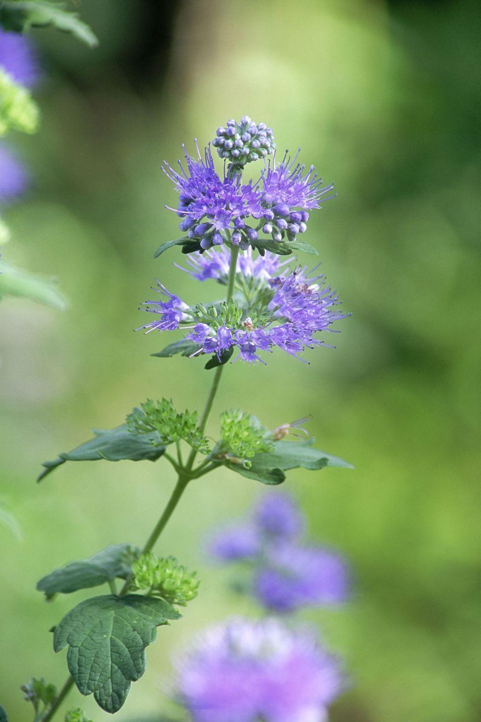 <p>These bright blue flowers will add the perfect pop of color to your front yard. </p><p><strong>Zones: 5-9</strong></p>
