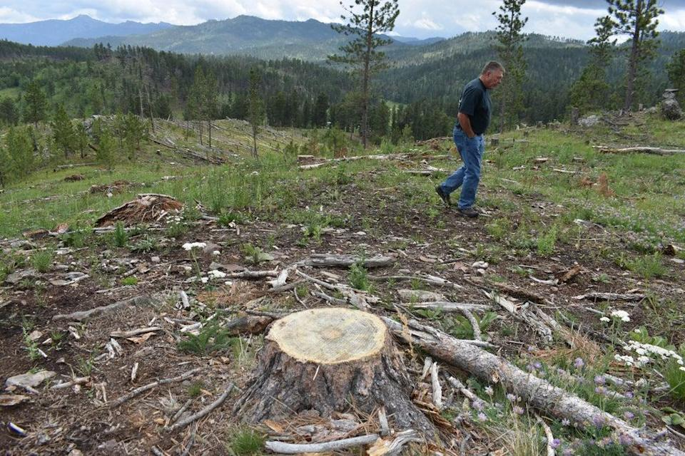 Logging Old Trees (Copyright 2021 The Associated Press. All rights reserved.)