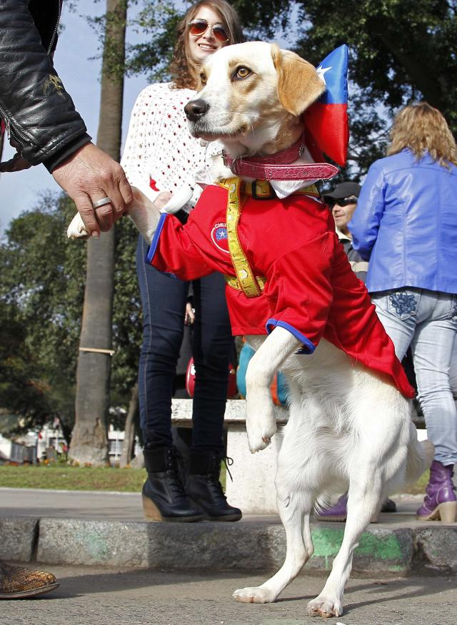 A dog wearing a Chilean national soccer team jersey, is pictured before the start of its travel with its owners from Valparaiso city to Brazil for the 2014 World Cup, June 6, 2014. According to local media, the authorities estimate that hundreds of cars with fans began their long travel from Chile to Brazil this weekend, covering a distance of around 4500 km (2796 miles), to watch the 2014 World Cup. REUTERS/Eliseo Fernandez (CHILE - Tags: ANIMALS SOCIETY SPORT SOCCER WORLD CUP)