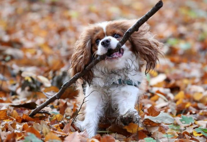 FILE PHOTO: A dog runs with a stick in a forest in Gaasbeek