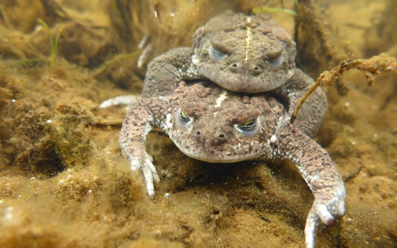Natterjack Toads  - Credit: National Trust Images Neil Fo