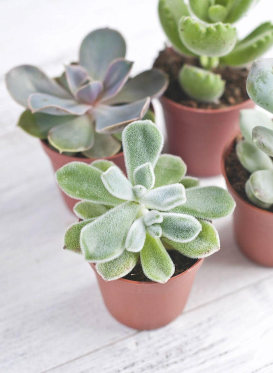 """<p><a class=""""link rapid-noclick-resp"""" href=""""https://www.amazon.com/Succulent-Plants-Fully-Rooted-Planter/dp/B079RKPQSP/?tag=syn-yahoo-20&ascsubtag=%5Bartid%7C10057.g.3716%5Bsrc%7Cyahoo-us"""" rel=""""nofollow noopener"""" target=""""_blank"""" data-ylk=""""slk:BUY NOW"""">BUY NOW</a> <strong><em>$17 for 5, amazon.com</em></strong></p><p>These waxy plants actually store water in their thick leaves. Therefore, they typically only require weekly waterings and enjoy sunlight and dry air.</p>"""