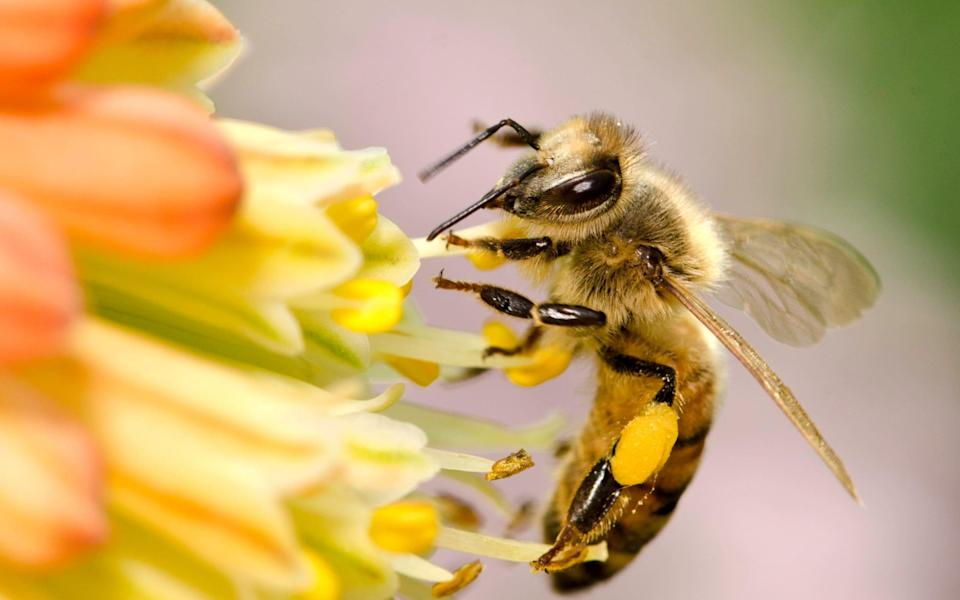 Every bee knows its place: the honey bee - Getty