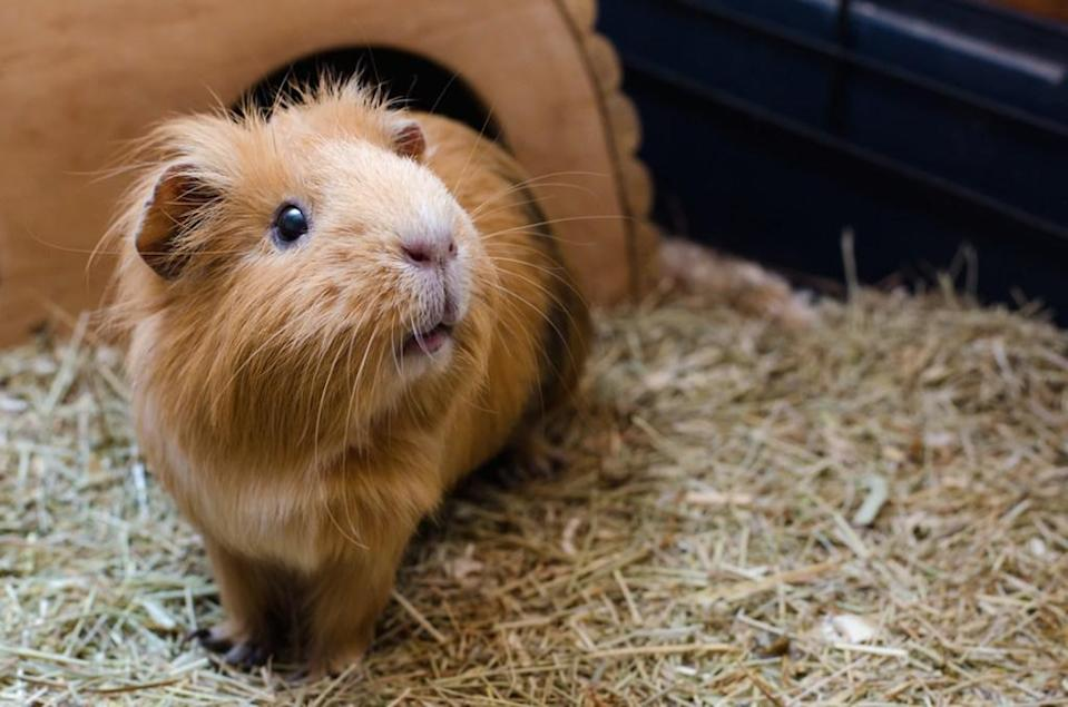 "Guinea pigs are social animals that prefer the companionship of another guinea pig. That's why it's illegal to own just one of the little critters in Switzerland. Thankfully, if one of your fuzzy pets passes away and you're not ready to commit to another, Switzerland also allows you to <a href=""https://abcnews.go.com/International/rent-guinea-pig-service-takes-off-switzerland/story?id=14573692"" rel=""nofollow noopener"" target=""_blank"" data-ylk=""slk:rent a guinea pig"" class=""link rapid-noclick-resp"">rent a guinea pig</a> for your remaining pet."