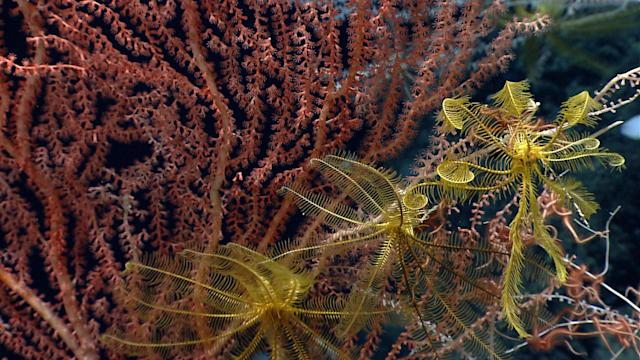 <p>Distant relatives of sea stars, crinoids, or sea lilies (class Crinoidea), can perch on corals and capture food that drifts by with the current. Other species of crinoids are stalked and attach to the seafloor. (Photo: Northeast Canyons 2013 Science Team/NOAA Okeanos Explorer Program) </p>