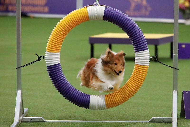 A dog competes in the Masters Agility Championship during the AKC and Westminster Kennel Club Meet and Compete event in New York, Feb. 9, 2019. (Photo: Andrew Kelly/Reuters)
