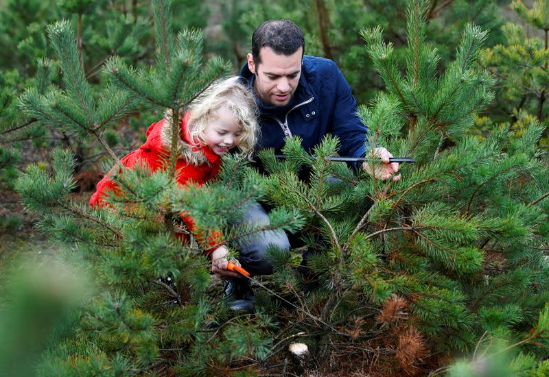 Man and his daughter saw their chosen Christmas tree to take home for free at The Dutch Hoge Veluwe National Park in Otterlo