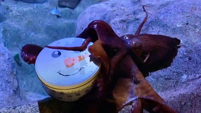 <p>Groot the Octopus, a resident of the Aquarium of the Pacific, loves Christmas goodies as much as anyone else — check out how fast he gets his treats tin open!</p>