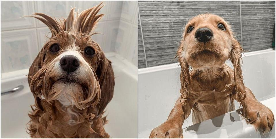 "<p>Recent research conducted by the team at Mira Showers found that a whopping 822,000 dog owners shower with their pups, while 2.4 million said they would take a day off to care for their poorly <a href=""https://www.countryliving.com/uk/wildlife/pets/a34625718/genius-trick-introducing-new-dog/"" rel=""nofollow noopener"" target=""_blank"" data-ylk=""slk:pet"" class=""link rapid-noclick-resp"">pet</a>. Whatever your pet owner habits may be, this highlights the special place dogs have in the hearts of their human. <br></p><p>""Nationwide, our survey found that an estimated 822,000 <a href=""https://www.countryliving.com/uk/wildlife/pets/a35175385/looking-after-dog-lockdown/"" rel=""nofollow noopener"" target=""_blank"" data-ylk=""slk:dog owners"" class=""link rapid-noclick-resp"">dog owners</a> shower with their dog; talk about multitasking,"" Matt Herbert-Sandell, Digital Communications Manager at <a href=""https://www.mirashowers.co.uk/"" rel=""nofollow noopener"" target=""_blank"" data-ylk=""slk:Mira Showers"" class=""link rapid-noclick-resp"">Mira Showers</a>, says. ""A dual shower is a perfect solution for dog owners who need some extra flexibility and multitasking power to help them groom their dogs at home.""</p><p>As part of their research, the team uncovered some of the cutest bath time pics of pups around the country. Take a look at the adorable images below...</p>"