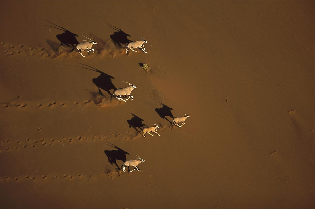 """Few large mammals relish life on the open dunes, but the Gemsbok is in its element there. They are largely nomadic and whilst groups of up to 200 have been recorded, the average herd size is more like 14. Like other species or oryx, Gemsbok hardly ever need to drink, deriving adequate moisture from their food. Image courtesy of <a href=""""http://www.amazon.com/Desert-James-Parry/dp/1847329144/ref=sr_1_3?s=books&ie=UTF8&qid=1317233972&sr=1-3"""">""""The Desert"""" by James Parry (Carlton Books)</a>."""
