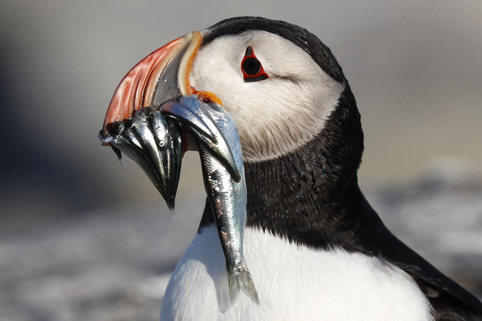 FILE-In this July 19, 2019 file photo, an Atlantic puffin carries bait fish it will feed its chick on Eastern Egg Rock, a small island off the coast of Maine. New protections to the herring population, a key food source for puffins, could help the birds survive. (AP Photo/Robert F. Bukaty, files)