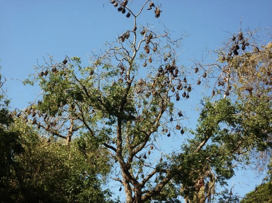 A denuded tree in Colac with flying foxes in it.