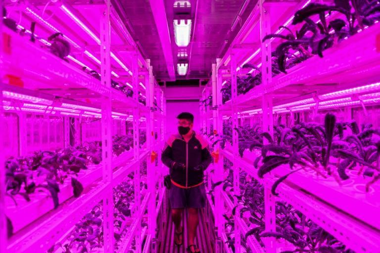 An urban farmer in Singapore tends to vegetables grown inside a shipping container illuminated with LED lights