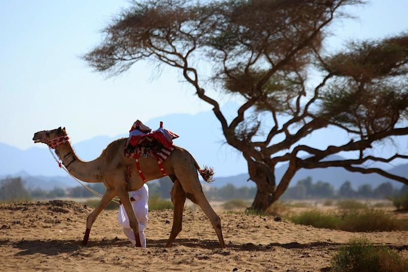 A Saudi man leads a camel in the town of Abu Ajaj northwest of Riyadh (AFP Photo/Mohammed Albuhaisi)