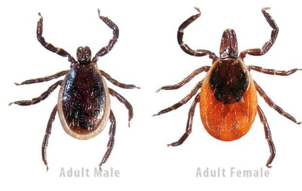 Black-legged ticks, or deer ticks, can transmit a number of things to humans, including bacteria, viruses, and worms.  (Thunder Bay District Health Unit - image credit)