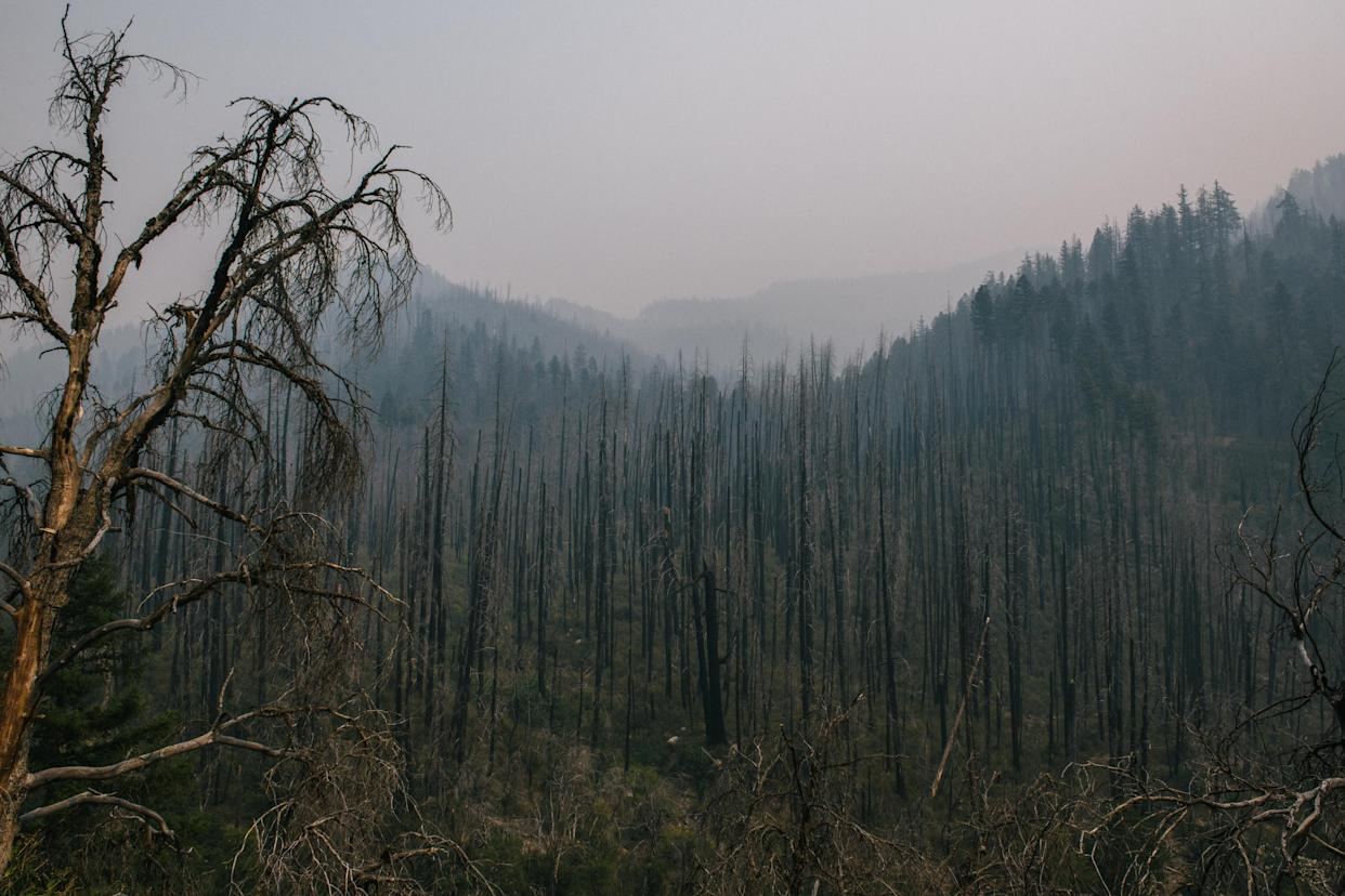 An area previously burned by a high-intensity wildfire in the Klamath National Forest. (Alexandra Hootnick for Yahoo News)