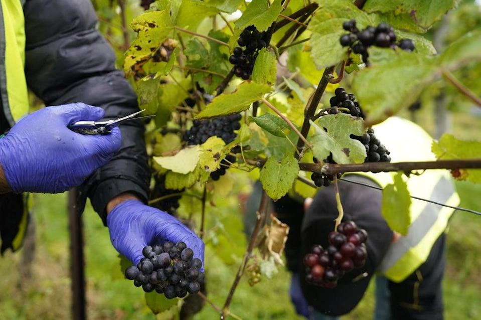 Pinot Meunier grapes are harvested for Nyetimber Wines (Andrew Matthews/PA) (PA Wire)