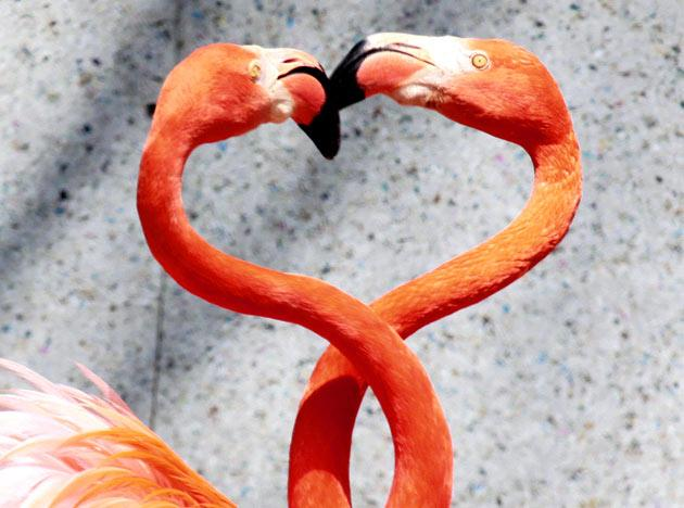 A pair of Caribbean flamingos extend their heads and necks in a heart shape as flamingos perform courtship dances at the Saitama Children's Zoo in Higashimatsuyama city in Saitama prefecture, north of Tokyo on April 11, 2010.    AFP PHOTO / Yoshikazu TSUNO
