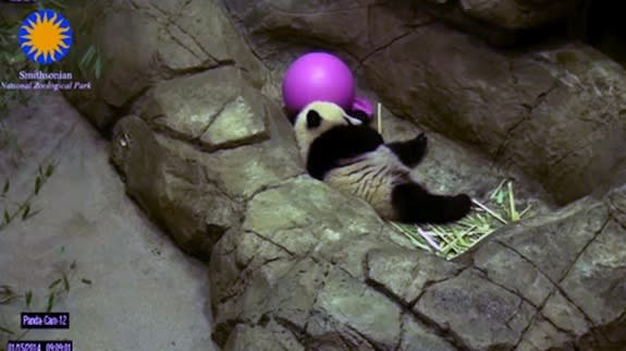 Panda Cub Bao Bao Makes Public Debut at National Zoo