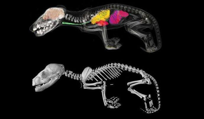 Researchers used 3D technology to gain new information about the Tasmanian Tiger. Source: University of Melbourne