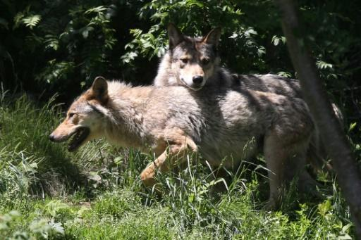 French farmers, breeders demand action against wolves
